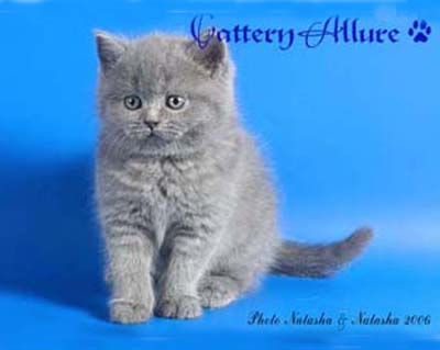 Британский голубой котенок 400 Х 319; 30 КБ ...