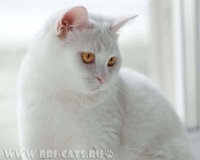 Британская кошка белого окраса.
