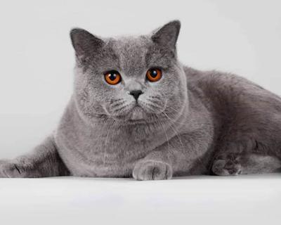 Британская короткошёрстная - описание породы кошки: фото, характер ... | 320x400