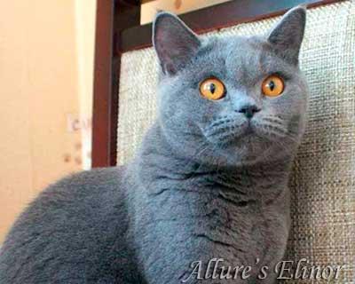 Как выглядят британский кот