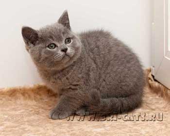 Британские котята, рожденные в ...