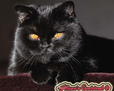 Черный кот британец Кардинал 1 год.