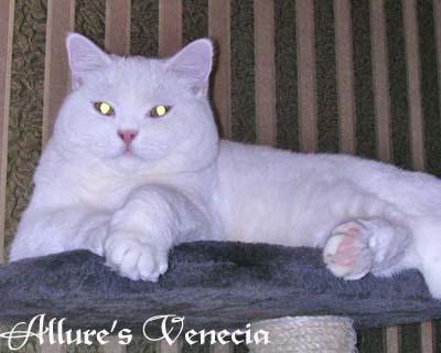 Британская белая кошка. в 9 месяцев.  ALLURE'S VENECIA BRI w 62.