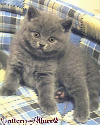британский голубой котенок 5 недель