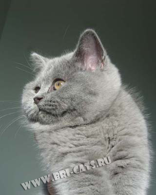 У кошки облезл живот у кошки грудь