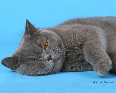 на фото 1,5 года.  Британская голубая кошка Кармен.