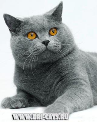 Британский кот: 3 картинки в ЛС.