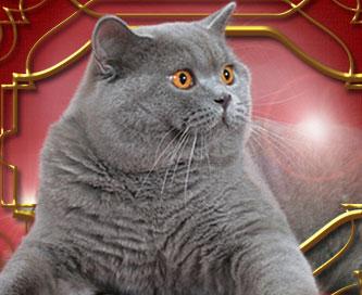 Купить британскую кота спб