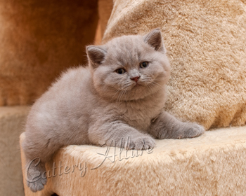 Лиловый британец : окрас кота кошки