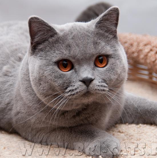 Красивый британец кот