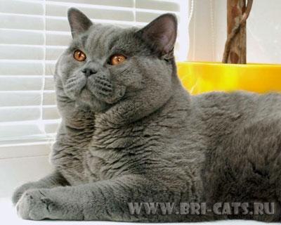 Британский кот в 2 года
